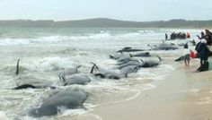 We've seen several posts this week claiming that thousands of whales have died due to radiated water leaked into the ocean from the Fukuskima power plant in Japan.  The story, however, was created by the satirical website National Report and is completely false. The photo being circulated actually shows beached pilot whales off of New Zealand in 2010, and not whales which died due to radiation exposure.