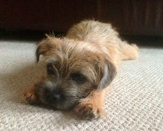 Border Terrier love! Cute!
