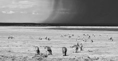 Contemporary photograph of rain approaching the Serengeti Migration in Tanzania #photography #contemporary