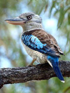 blue winged kookaburra close up - Google Search