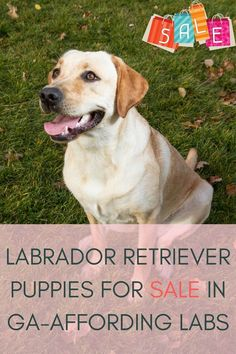 Labrador retriever puppies for sale in GA is now very easy. Various Labrador breeders and suppliers perform well in Georgia. But, we focused on those who are experts in their fields........ #labradorsofinstagram #Labradoroftheday #labradorable #labradorpuppy Labrador Breeders, Labrador Puppies For Sale, Retriever Puppies, Labrador Retriever, Fields, Georgia, Dogs, Easy, Animals