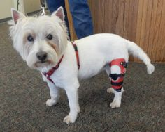 Kayla the Westie is on her way to recovery from an ACL