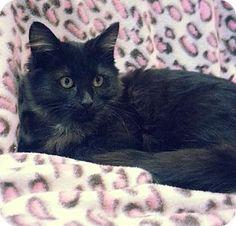 Prattville, AL - Domestic Mediumhair. Meet Ricky 21764, a kitten for adoption. http://www.adoptapet.com/pet/12179134-prattville-alabama-kitten