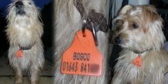 A different use for Shearwell sheep / cattle tags... Dog tag