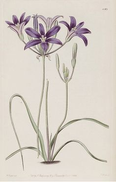 Brodiaea coronaria is the type species of Brodiaea and also known by the common name crown brodiaea. It is native to western North America from British Columbia to northern California, where it grows in mountains and grasslands. The Botanical Register   (1828)