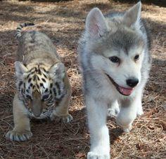昨日RTした仔狼と仔虎の画像、他のも見つけたので置いておきますね