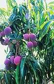 Hawaii, Purple and green mangoes hanging on tree.