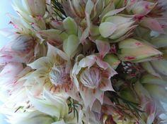 Pink: Blushing bride protea