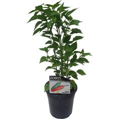 175mm Capsicum Frutescens Chilli Birdseye | Bunnings Warehouse