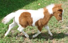 Photos and video of a sorrel and white pinto stud colt miniature horse for sale with outstanding deep rich color markings and nice conformation. Miniature Horses For Sale, Painted Horses, Cow, Miniatures, Photo And Video, Animals, Animales, Animaux, Cattle