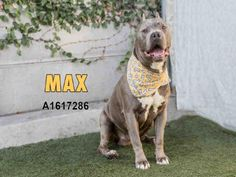 MAX - URGENT - located at CITY OF LOS ANGELES SOUTH LA ANIMAL SHELTER in Los Angeles, CA - Senior Male Pit Bull Terrier