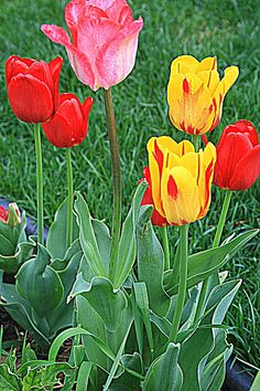 """Spring Tulips"" by #Kay Novy #Spring flowers   http://kay-novy.artistwebsites.com/featured/spring-tulips-kay-novy.html"