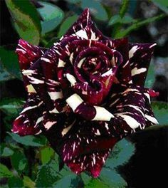 Black White Stripe Dragon Rose Seeds) omg is this real? Rare Roses, Rare Flowers, Exotic Flowers, Beautiful Rose Flowers, Black Flowers, Amazing Flowers, Black Roses, Yellow Roses, Dragon Rise