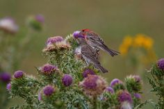 House Finch Pair On Thistle | Flickr - Photo Sharing!