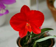 Colombiana Movie Flower Name