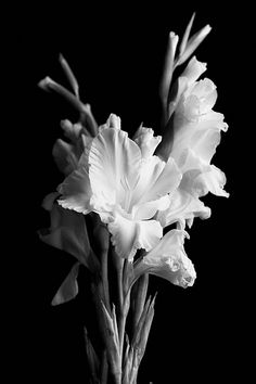 Gladiolus- means strength of character AND dedication and devotion to family <3