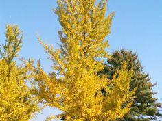The Gingko ( Ginkgo biloba ) is popular for its vibrant foliage. It's a fast-grower that appreciates partial to full sun, and is hardy in zones 4a-8a. It can grow up to 75 feet and spread up to 50 feet. The male variety is favored as it does not produce smelly fruit.