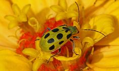 Do you have cucumber beetle problems? Find out how to destroy these major agricultural pests with our handy prevention guide! Cucumber Beetles, Battle, Gardening, Lawn And Garden, Horticulture