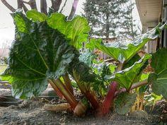 Ревень – многолетнее растение, имеет несколько видов: татарский, пальчатый, черноморский. Ревень черноморский является ярким представителем вида, выращиваемого в качестве овощного растения. Отличается...