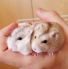 dwarf hamsters, unlike Syrian hamsters, can live together given enough space, bowls and toys to avoid fights due to crowding or jealousy
