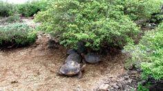 Tortugas gigantes en el parque Charles Darwing en Santa Cruz Galapagos