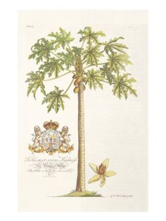Papaya Tree Giclee Print by Porter Design at Art.com