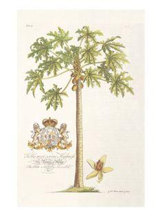 Papaya Tree Giclee Print by Porter Design at Art.com