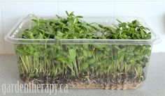 Wait Until You See These Time Lapse Photos of Sunflower Micro Greens Growing! Sunflower micro greens are deliciously nutty with the flavor o. Indoor Vegetable Gardening, Container Gardening, Organic Gardening, Gardening Tips, Types Of Lettuce, Salad Box, Growing Sunflowers, Lettuce Seeds, Fresh Green