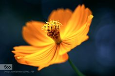 Yellow - Pinned by Mak Khalaf Nature 꽃꽃술노랑빛아웃포커스한송이 by kimmd35141