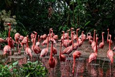 Float of Caribbean flamingos can be seen in Jurong Bird Park. There unique pinkish color attracts lot of photographer's.