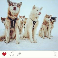 Greenlandic sled dogs are the engine of the North ... Picture by @pa...