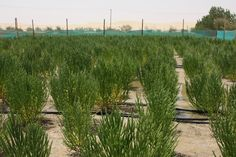 Green Gold: Growing #JetFuel in the #Desert #SalicorniaBigelovii #biofuels #biodiesel https://adalidda.net/posts/j73A3z3d4rBZecHfQ/green-gold-growing-jet-fuel-in-the-desert