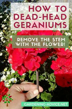 Geranium Care – Growing Geraniums Outdoors Or Indoors How to dead-head Geraniums Propagating Geraniums, Growing Geraniums, Geraniums Garden, Red Geraniums, Growing Flowers, Planting Flowers, Caring For Geraniums, How To Deadhead Flowers, How To Grow Geraniums