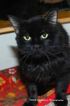 Meet Hobo a Petfinder adoptable Domestic Medium Hair Cat | Lincoln, NE | I am the sweetest, most easy going boy. I love people, I love other cats. I just want to be petted...