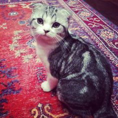 squeedorable! Taylor Swift's kitty Meredith