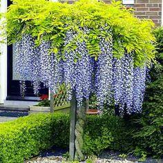 Glicină Blue Sapphire (Wisteria sinensis) imagine