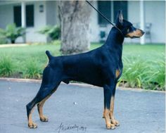 Thinking About Getting A Dog? Read On For Excellent Advice! * Find out more at the image link. Pinscher Doberman, American Doberman, Dog Store, Dog Items, Cute Dogs, Animals, Grande, Image Link, Advice