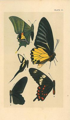 Vintage Chromolithograph Butterflies India by CarambasVintage, $18.00