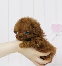 Image result for teacup poodle full grown