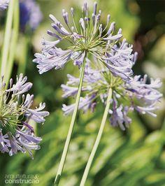 Agapanto (Agapanthus africanus) dá fores na primavera e no verão. Ele deve ser adubado antes e após a floração.