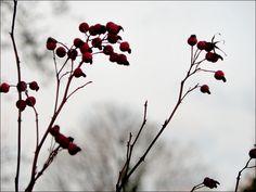 Hagebutten im Dezember - Jahreszeiten - Galerie - Community
