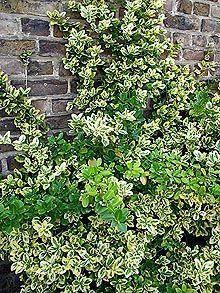 Euonymus Immergrune Fassadenbegrunung Ohne Oder Mit Stutzenden Kletterhilfen Immergrunestraucher Euonymus Evergreen Plants Climbing Plants Evergreen Bush