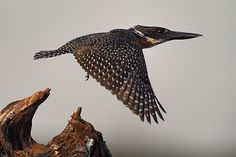 Giant kingfisher by Katie Possum, via Flickr