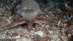 The Cuttlefish, Nature's techno light
