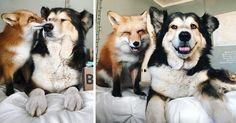 Pet Fox staje się najlepszym przyjacielem psa | Bored Panda