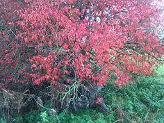 Europäisches Pfaffenhütchen (Euonymus europaea) in Herbstfärbung im Unterluch Dessau-Rosslau