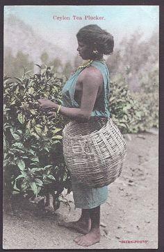 Tea Picker Ceylon