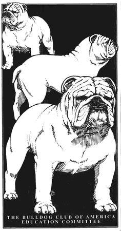 An Illustrated Guide to the Bulldog Standard, English Bulldog Standard, English Bulldog Colors, English Bulldog Size Bulldog Pics, English Bulldog Puppies, English Bulldogs, French Bulldogs, Equine Photography, Animal Photography, Bulldog Drawing, Baby Bulldogs, Baby Pugs