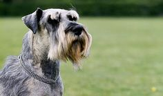 The schnauzer is indicated as one of the best hypoallergenic dog breeds for people with allergies since they are the breed that produces the least dandruff. Schnauzer Breed, Standard Schnauzer, Schnauzers, Funny Animal Pictures, Funny Animals, Best Hypoallergenic Dogs, Orange And White Cat, Dog Puzzles, Hunting Dogs