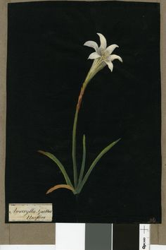 I, 1781 Collage of coloured papers, with bodycolour and watercolour, on black ink background © The Trustees of the British Museum Nature Illustration, Floral Illustrations, Miniature Plants, Collage Artists, Paintings I Love, Botanical Prints, Vintage Prints, Painters, New Art